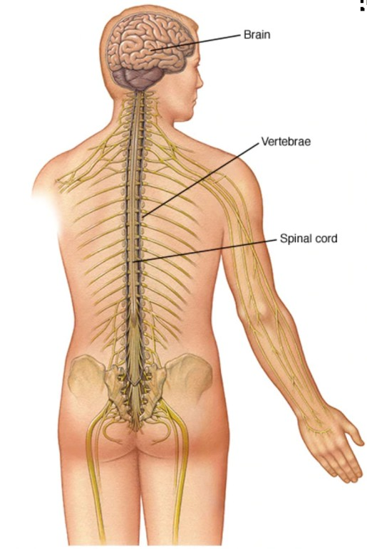 la excitación viaja en forma de estímulo nervioso en la medula espinal